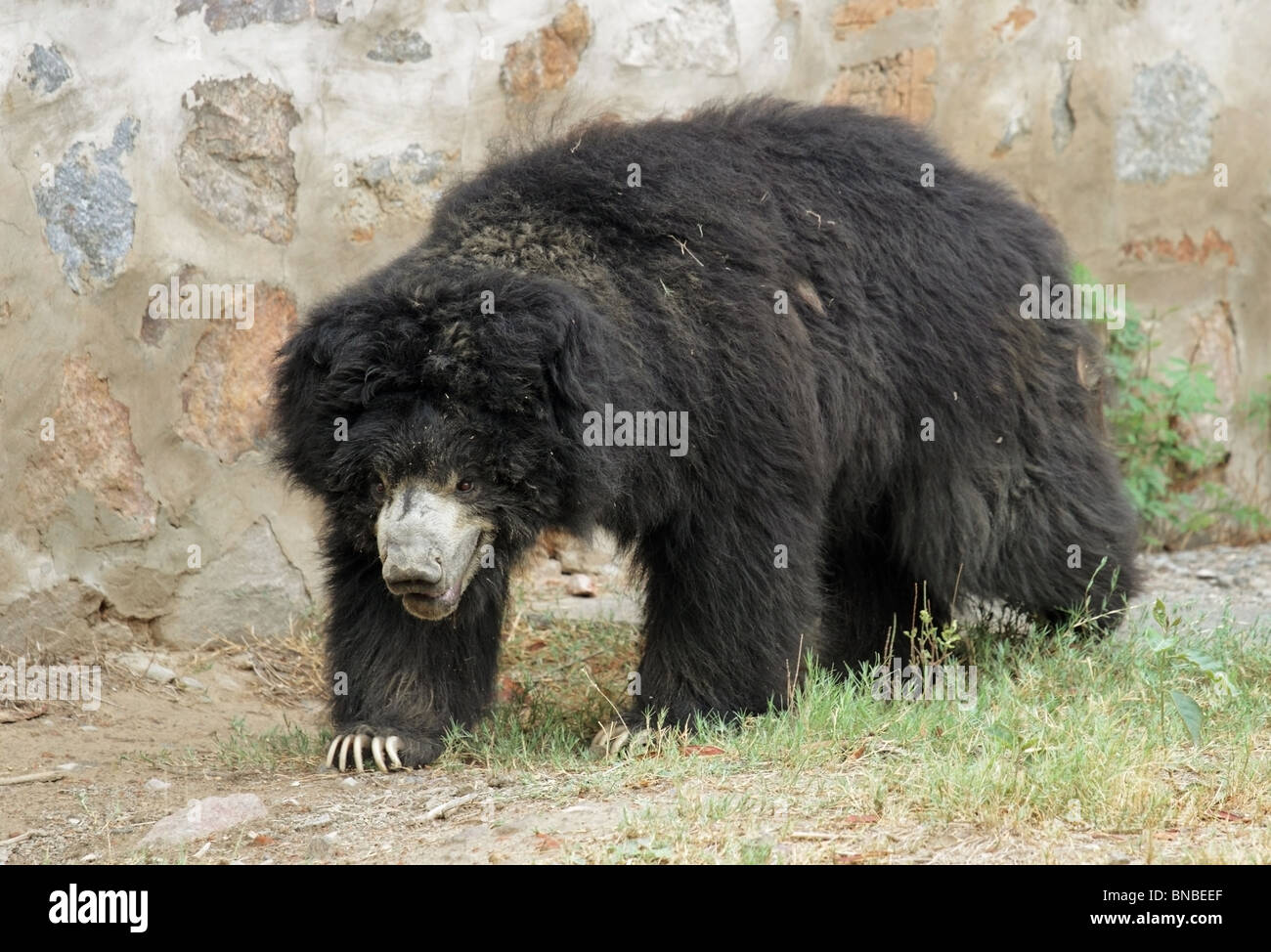 Asiatic Black Bear walking in its enclosure. Picture taken in New Delhi Zoo, India - Stock Image
