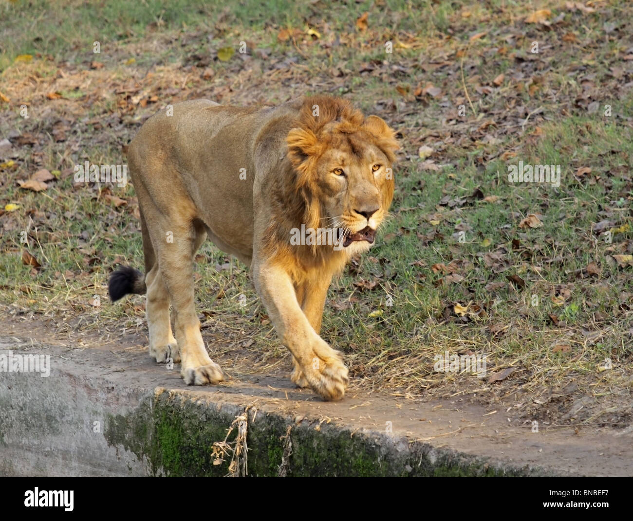 An Asiatic Lion walking in its enclosure in New Delhi Zoo, India - Stock Image