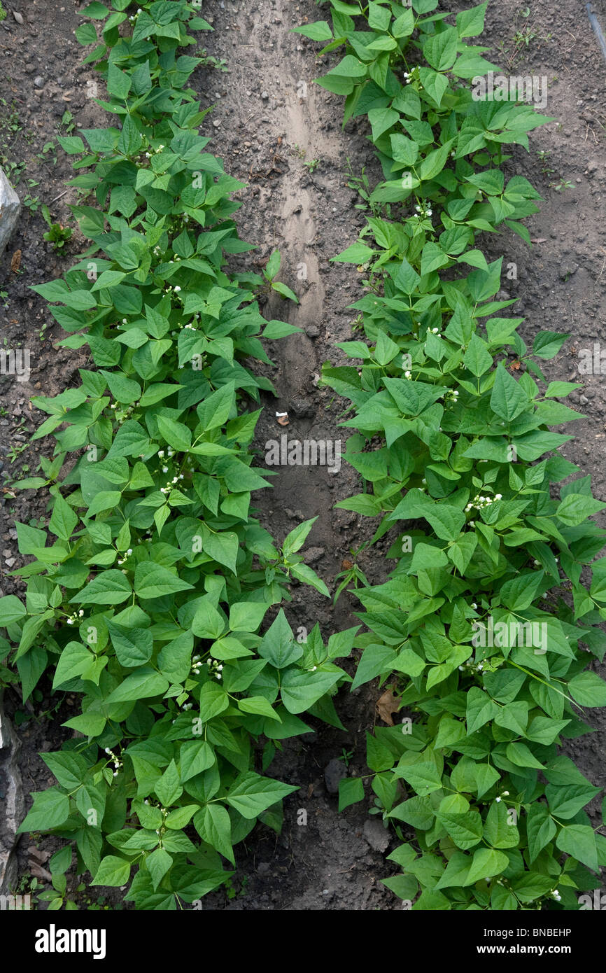 Green bean plants (Phaseolus cultivar) in vegetable garden, Michigan USA Stock Photo