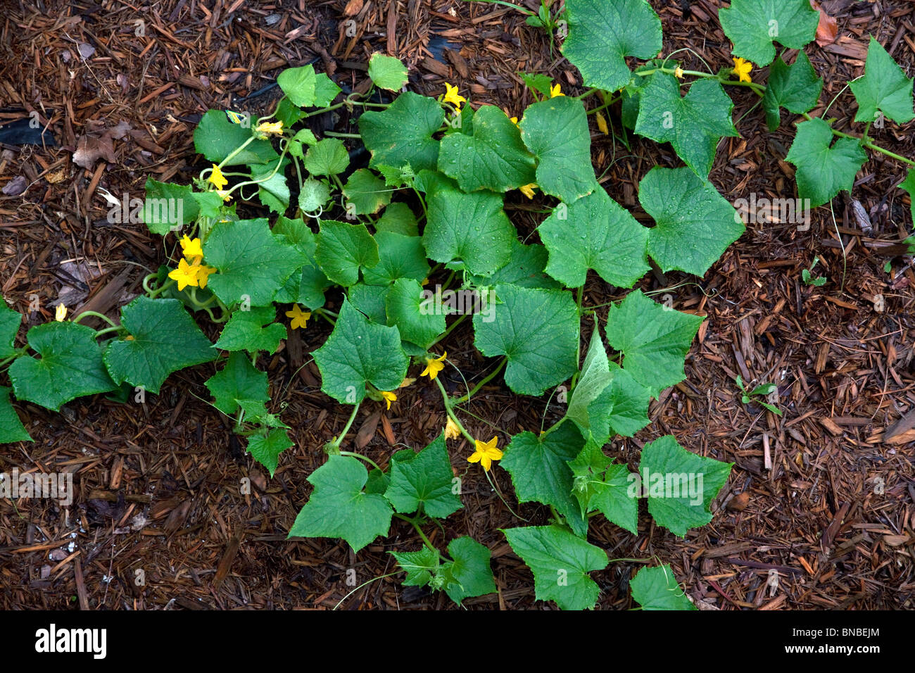 Garden Cucumbers in bloom (Cucumis sativus) E USA Stock Photo