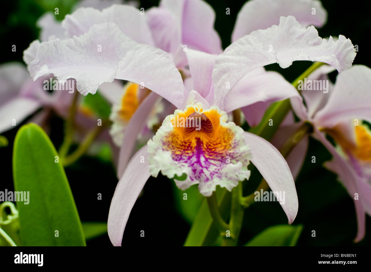 Cattleya Trianae Orchidaceae Colombia Endangered Threatened