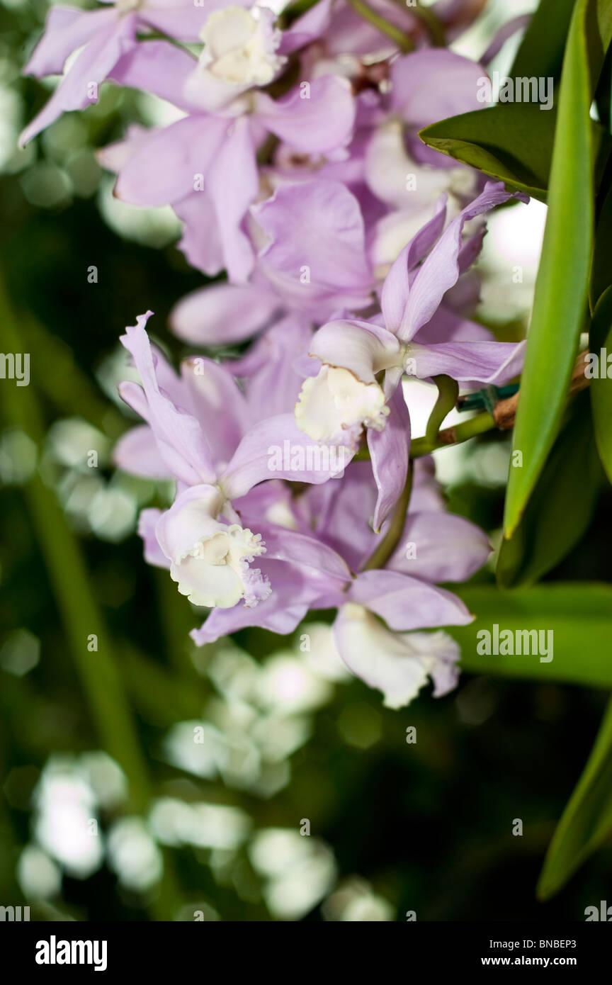 Cattleya loddigesii Ellen x Extra, orchidaceae, orchid, flower, violet, pink - Stock Image