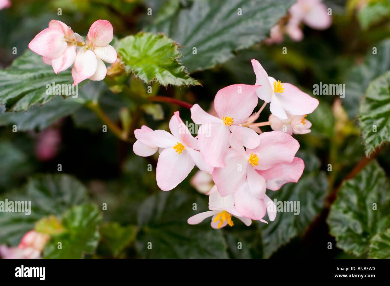 White pink flowers of Begonia Richmondensis, Begoniaceae - Stock Image