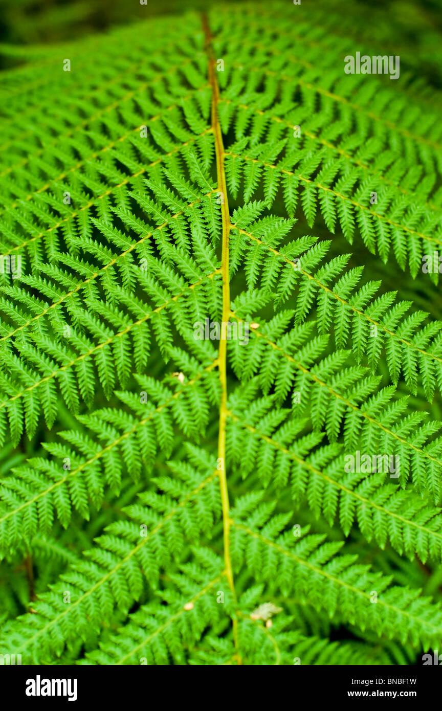 Golden tree fern, Jade Green Tree Fern,  Dicksonia fibrosa, dicksoniaceae, New Zeland, plant - Stock Image