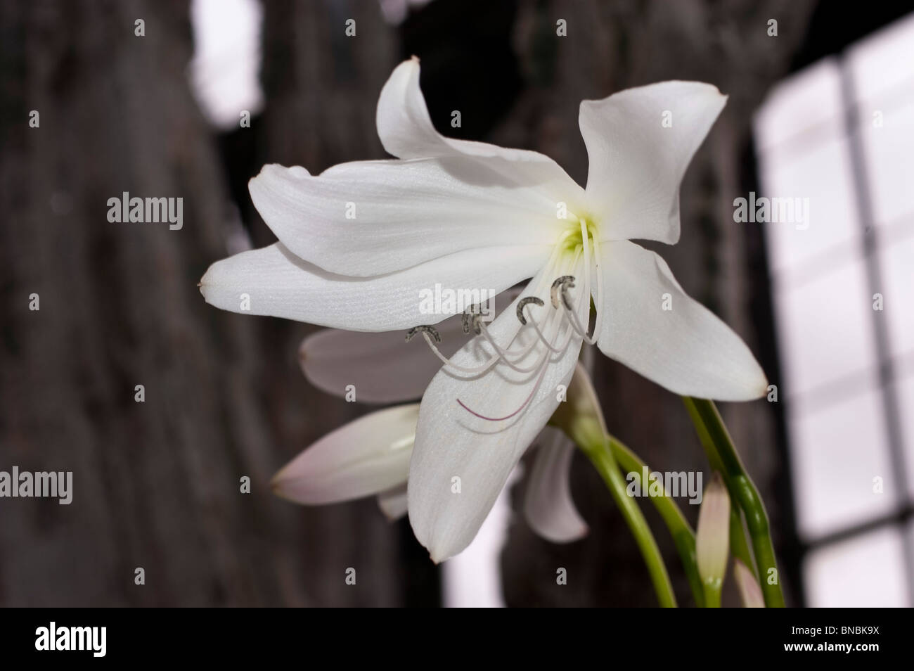 White flowers of Spider lily, Crinum X powellii, Amaryllidaceae Stock Photo