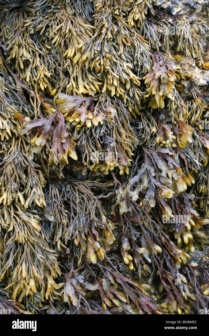Channelled Wrack And Spiral Wrack Seaweeds Taken At Penmon Point, Anglesey, UK - Stock Image