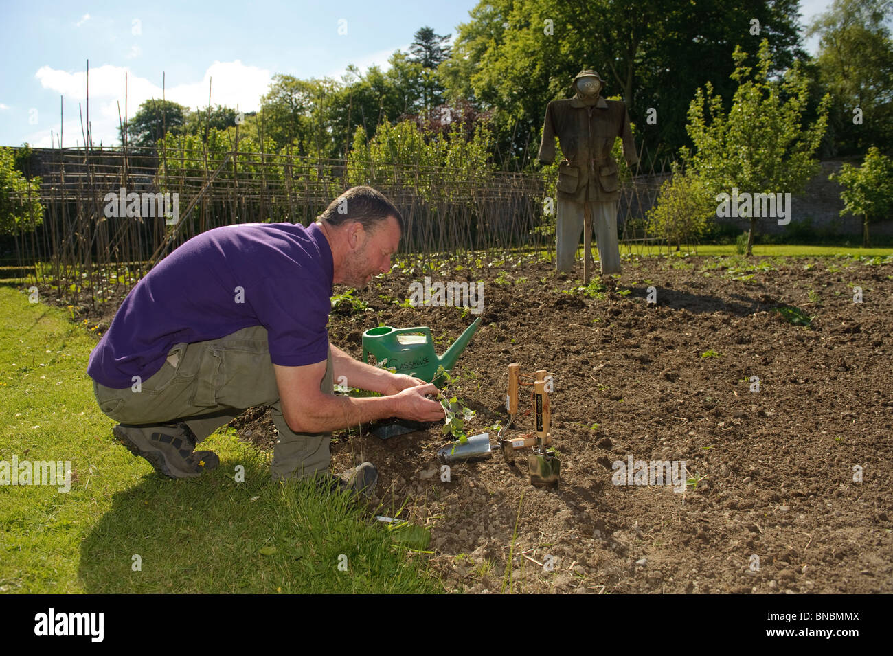A gardener at Llanerchaeron National Trust property preparing to plant seedlings in the vegatable patch, Wales UK - Stock Image