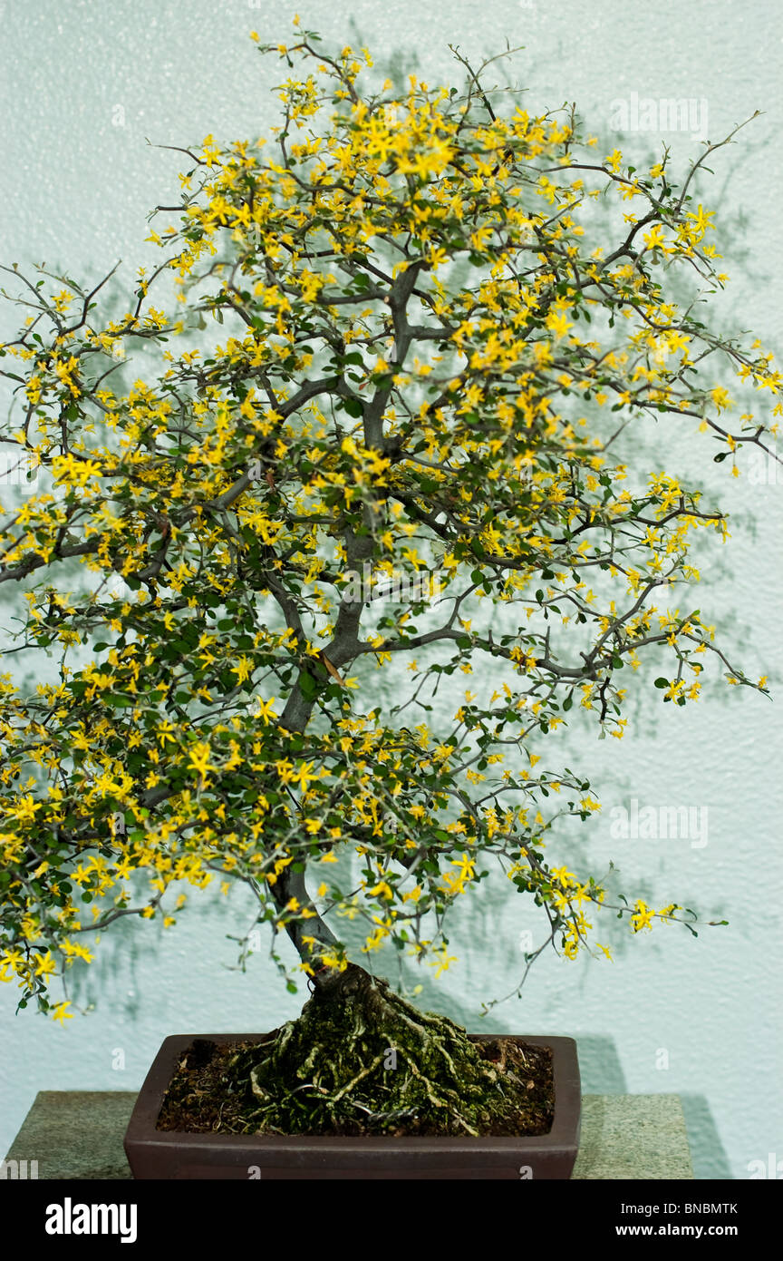 Yellow Flowers On Small Bonsai Tree In Montreal Botanical Garden