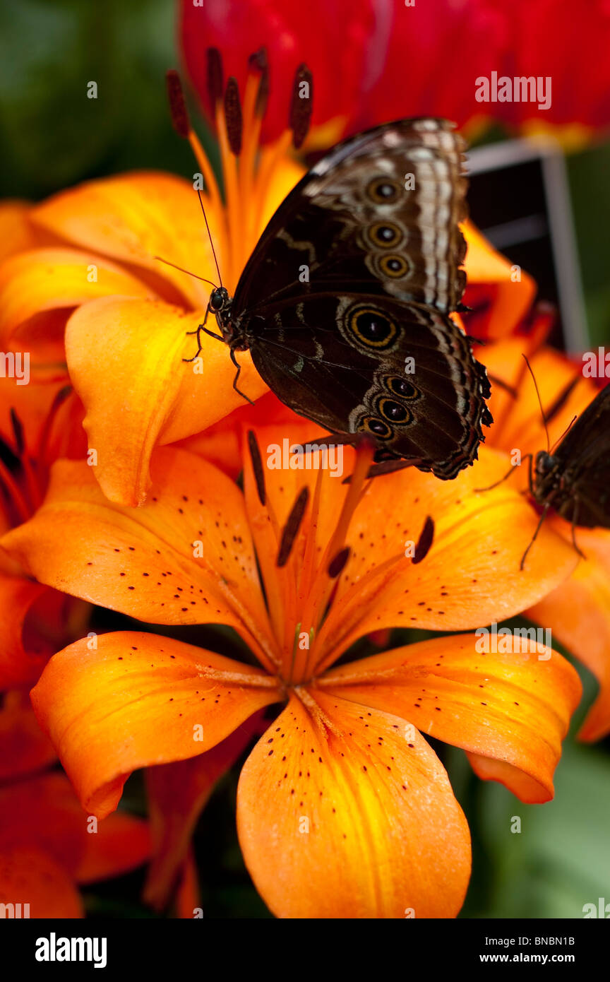 Butterfly sitting Asiatic orange day lily flower - Stock Image