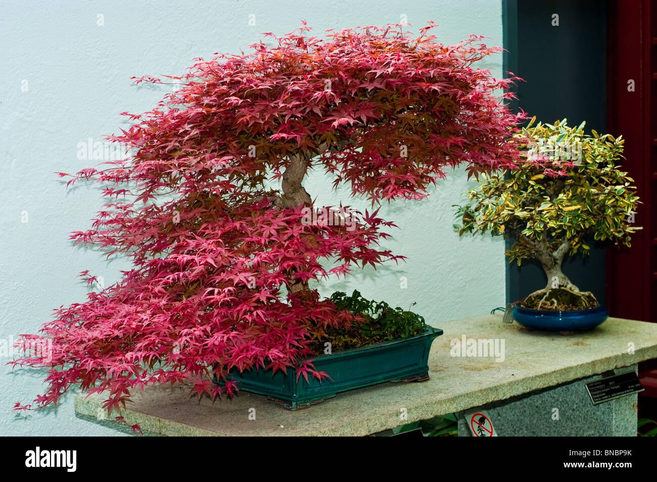 Acer Palmatum Bonsai Trees In Montreal Botanic Garden Greenhouse