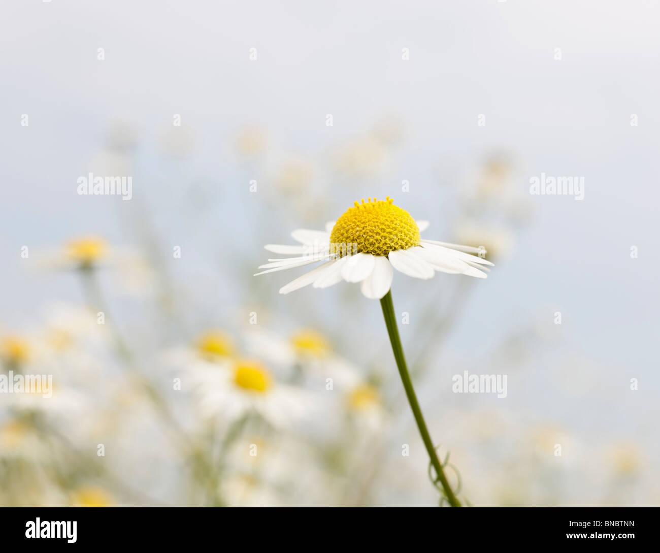 Chamomile, Matricaria chamomilla Stock Photo