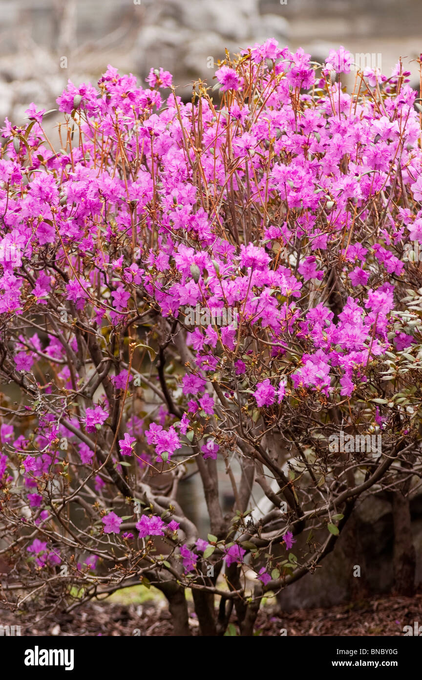 Pink violet flowers of Korean rhododendron, Rhododendron mucronulatum, Korea, Asia, early spring - Stock Image