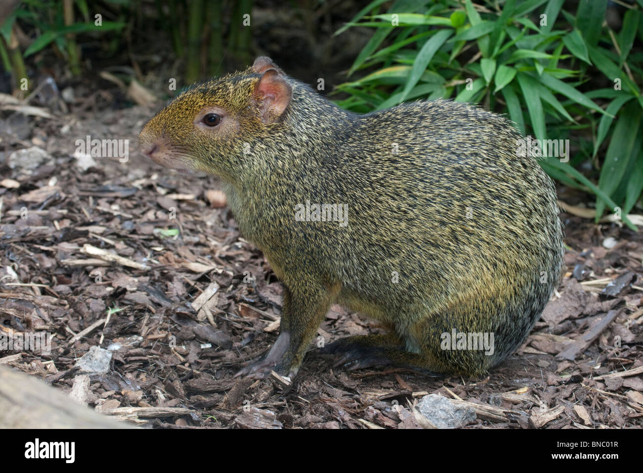 Capybara, Hydrochoerus hydrochaeris, from Central and South America. - Stock Image