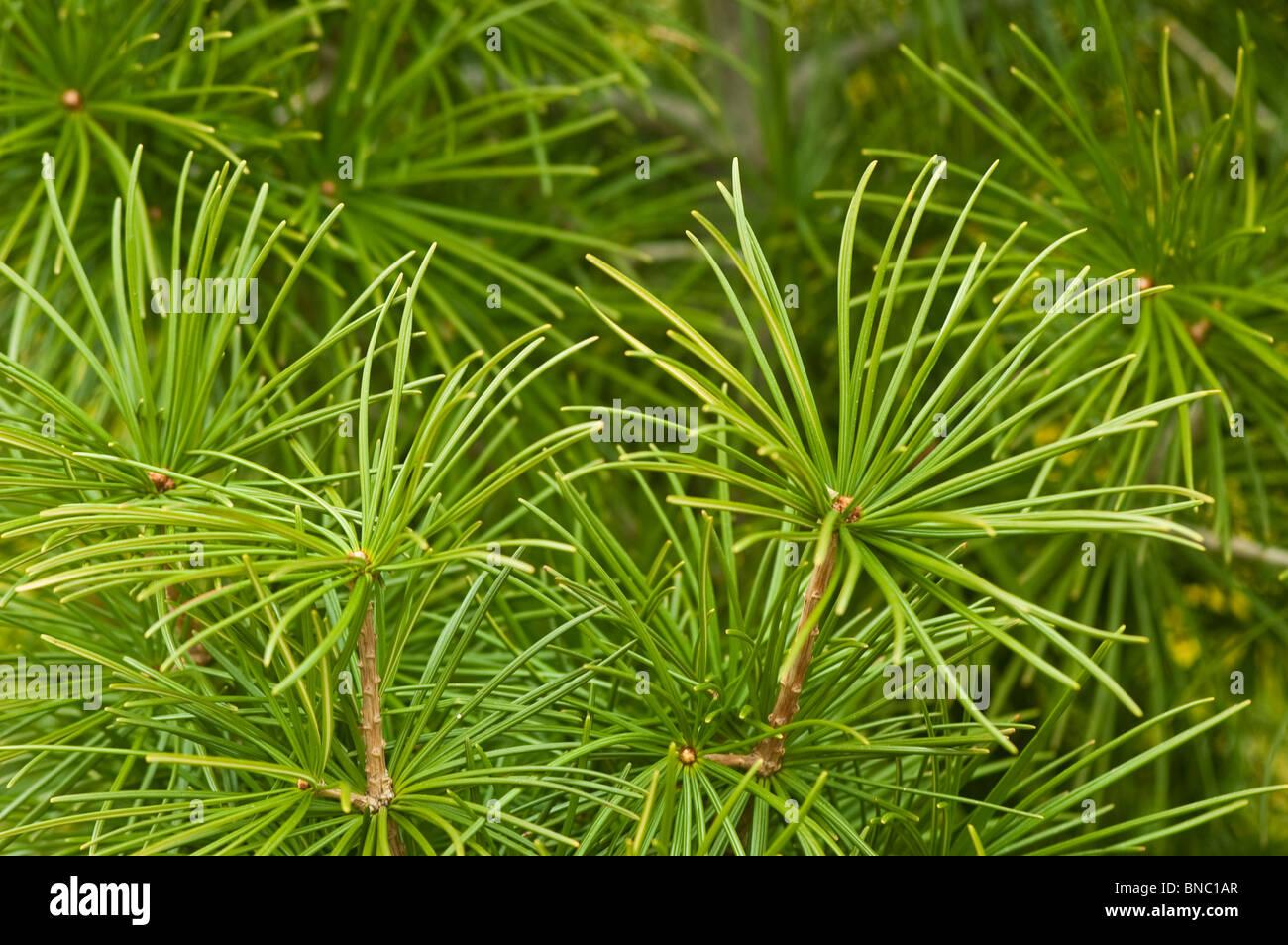Japanese Umbrella Pine Sciadopitys Verticillata Taxodiaceae