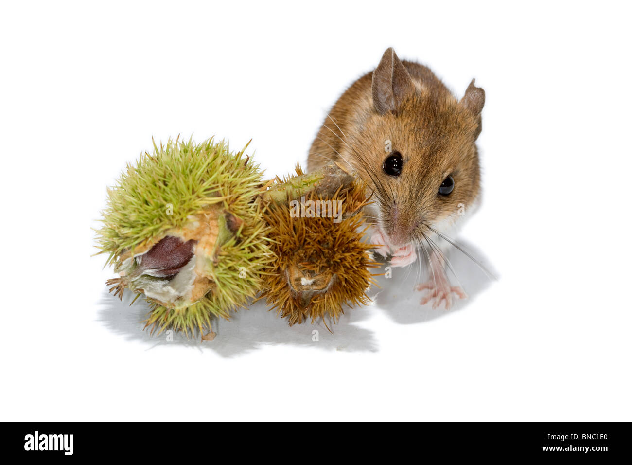 Cutout of Wood mouse and sweet chestnut fruit. - Stock Image