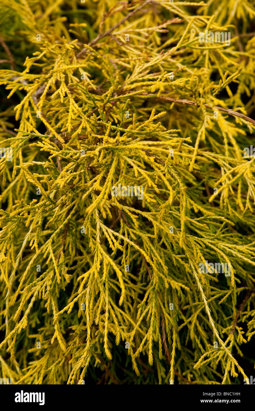 Chamaecyparis pisifera Lemon Thread, False Cypress, Sawara, Cupressaceae, Yellow, branch, AUREA, cyprysik groszkowy - Stock Image
