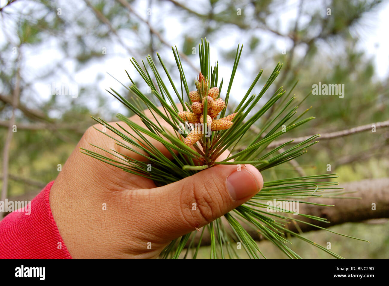 Cones of an Ocote tree (Pinus montezumae) in a park in Mexico - Stock Image