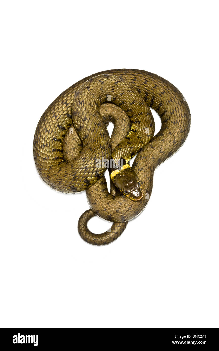 Cutout of grass snake. - Stock Image