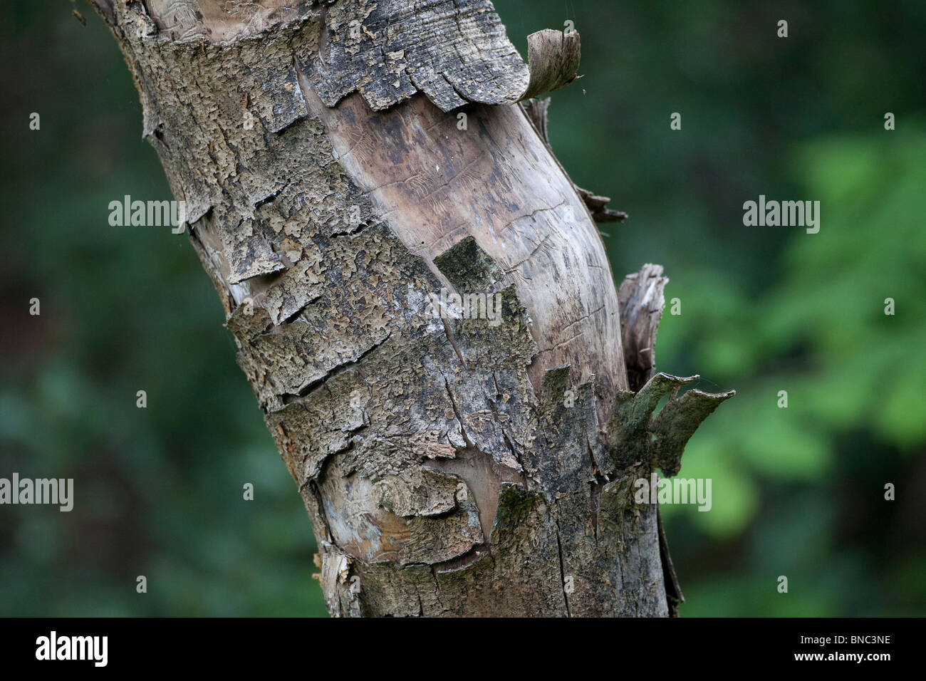 Bark peeling from dead tree showing marks of insect larvae galleries. - Stock Image