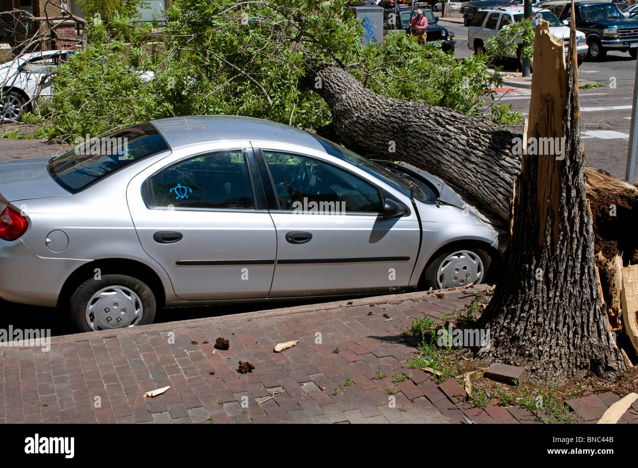 Huge tree that fell on hood of car during strong wind storm Stock Photo