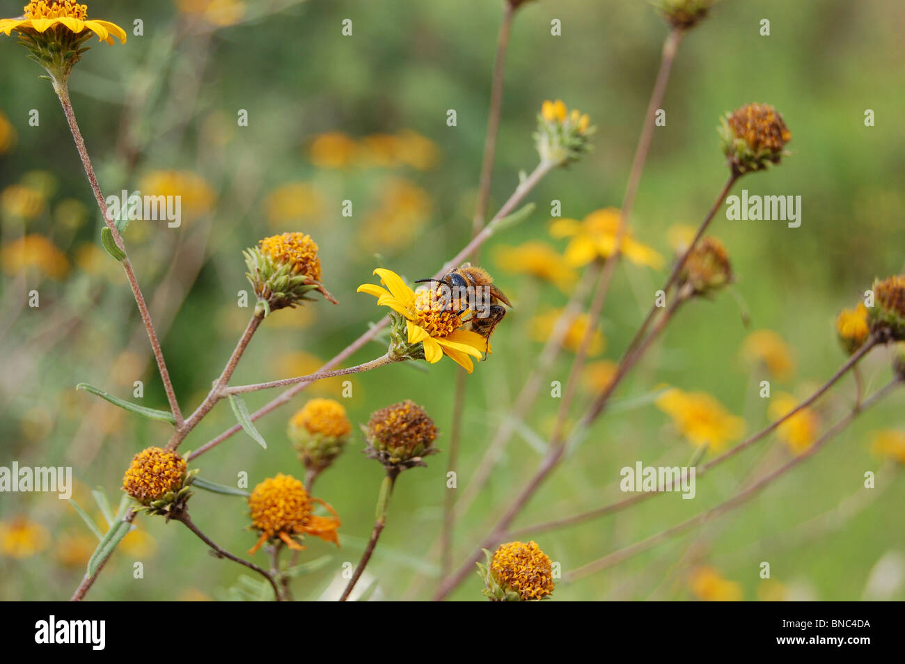 Wasp feeding on nectar in a park in Mexico - Stock Image