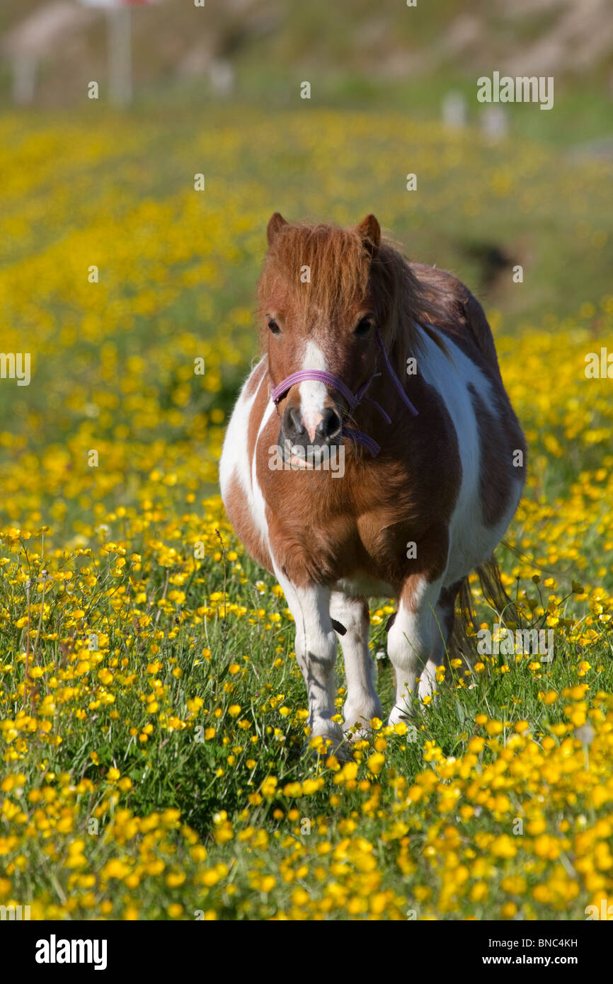Pony in buttercups; Texel; Netherlands taken from cycleway - Stock Image