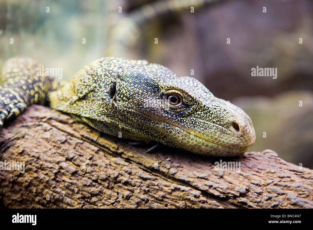 Lizard Resting Stock Photos & Lizard Resting Stock Images - Alamy