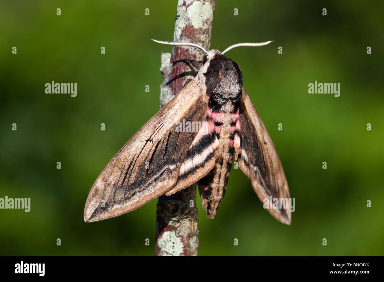 Privet Hawkmoth; Sphinx ligustri; on a twig - Stock Image