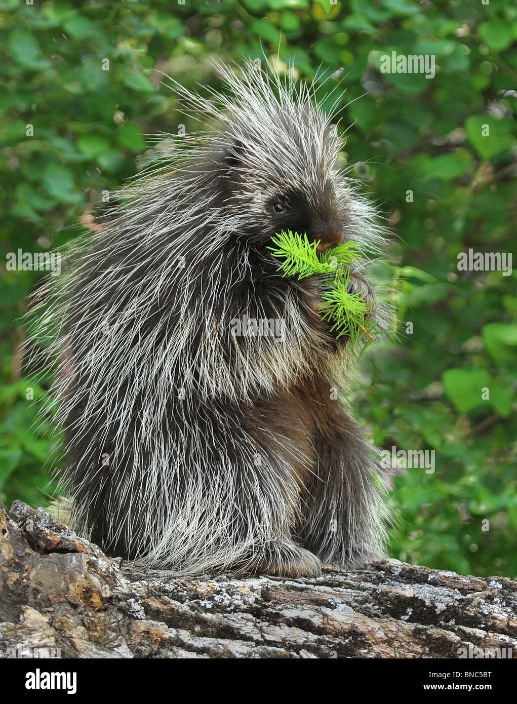 Porcupine sitting on a log eatting Stock Photo