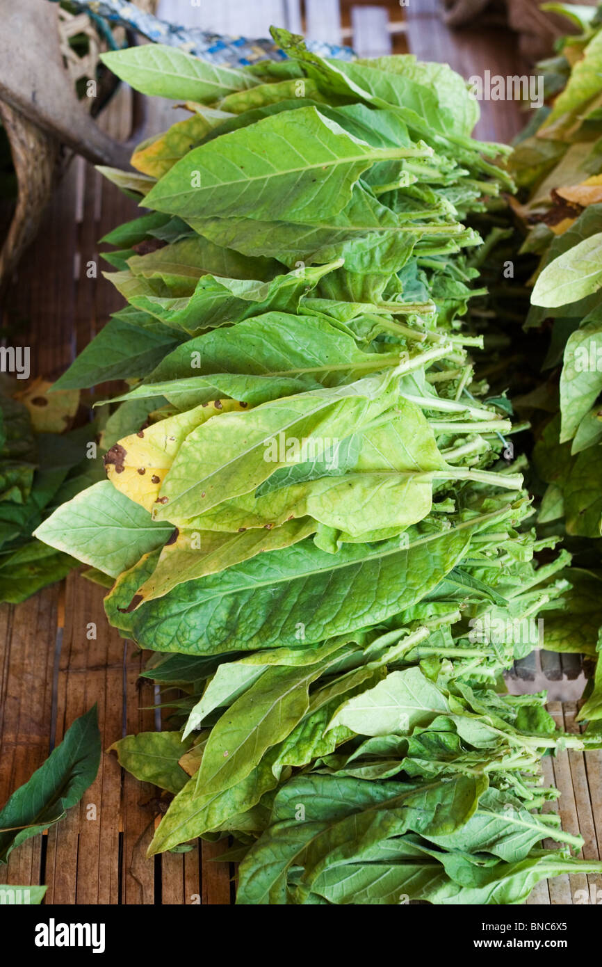 Fresh tobacco leaves, Thailand - Stock Image