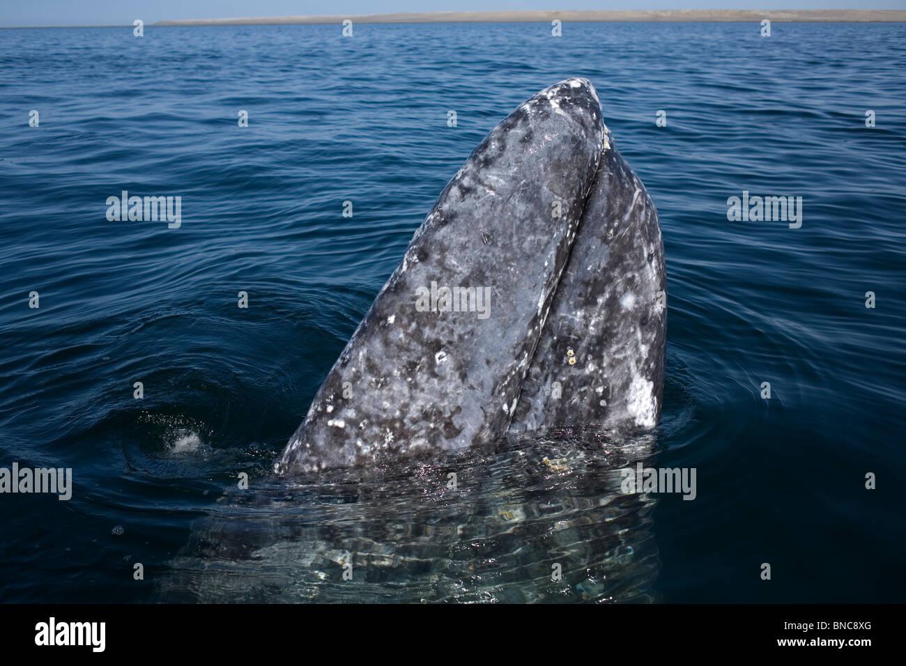 A gray whale swims in Ojo de Liebre Lagoon near the town of Guerrero Negro in Mexico's southern Baja California - Stock Image