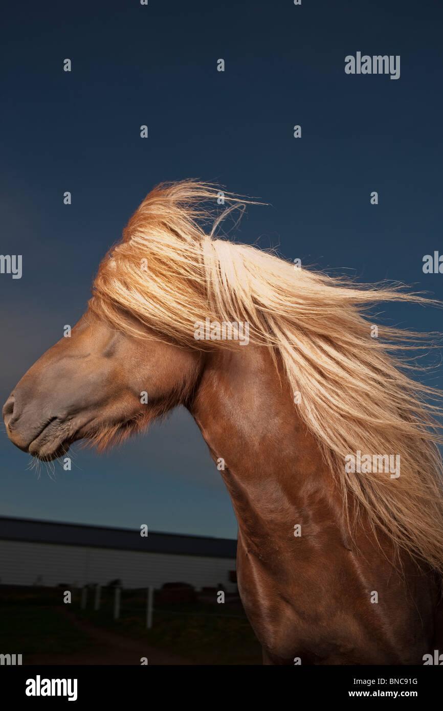 Portrait of Icelandic Horse, Iceland - Stock Image