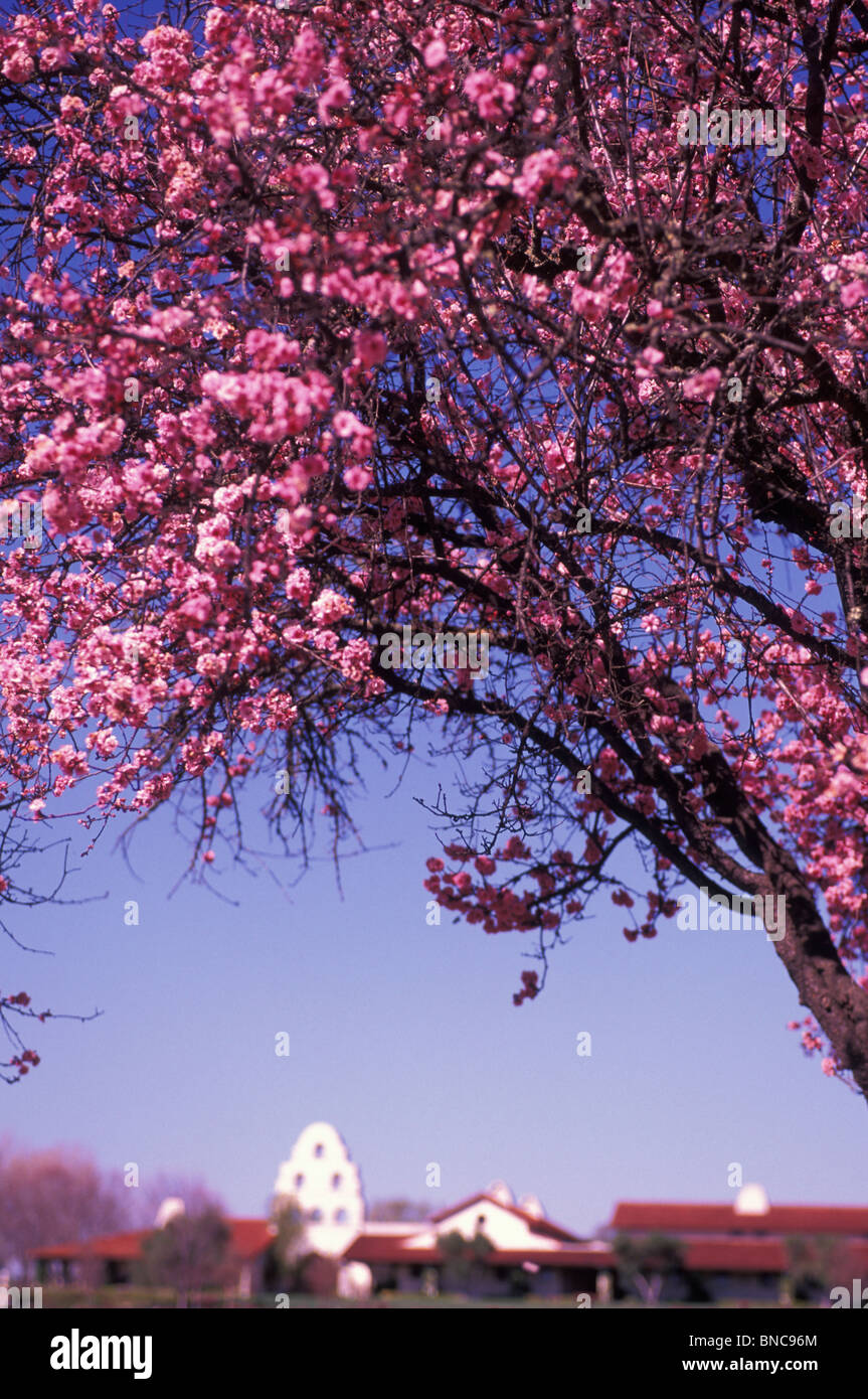 Fruit tree blossoms at Bridlewood Estate Winery in Los Olivos Santa Ynez Valley Central Coast Wine Country California - Stock Image