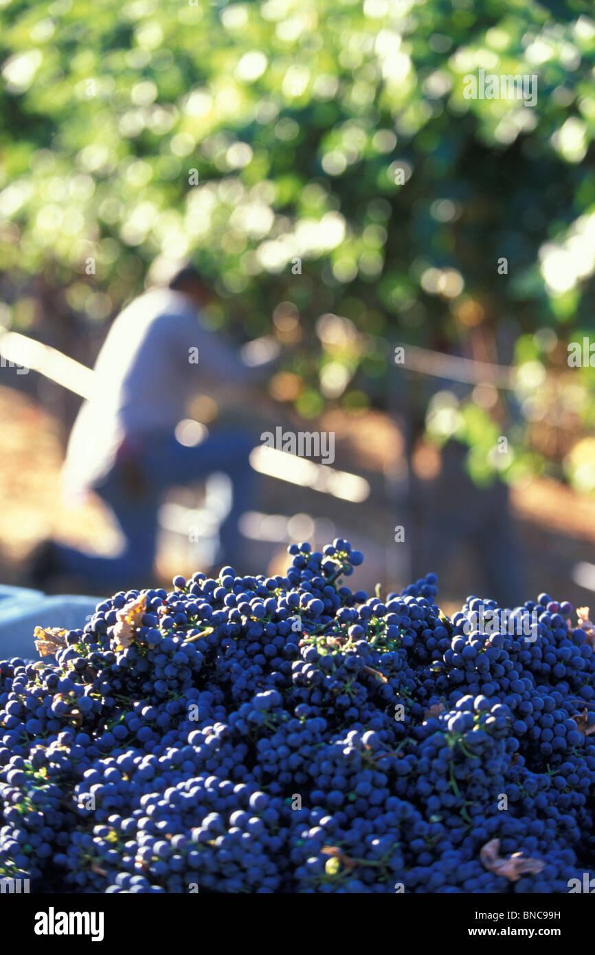 Grape picking Napa Valley Northern California USA - Stock Image