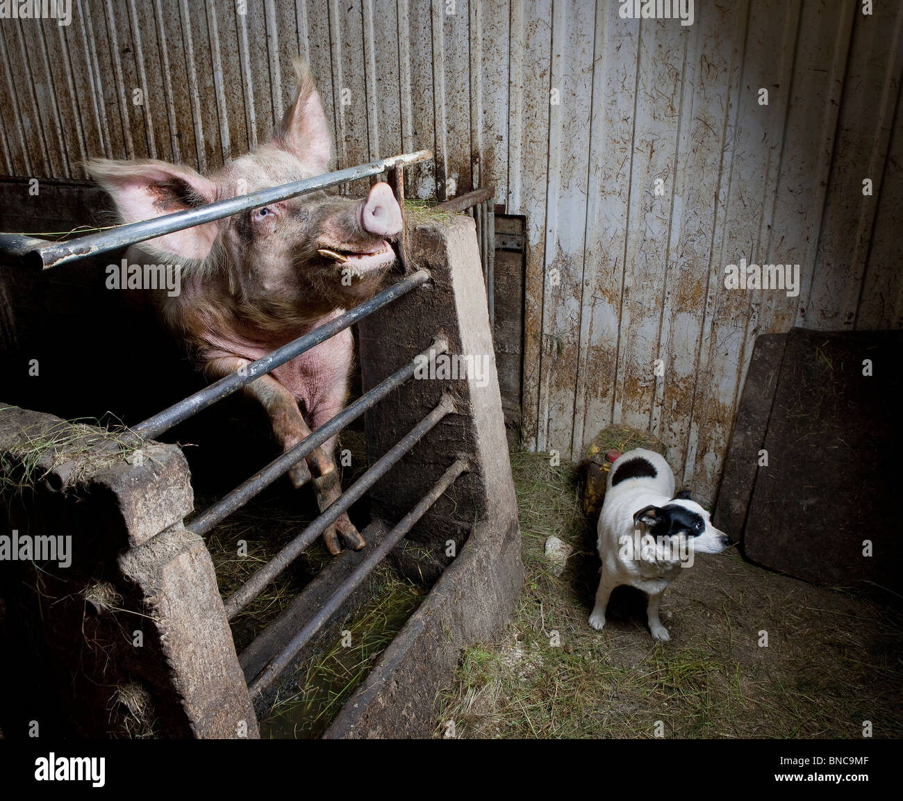 Pig with Dog in farmhouse, Iceland - Stock Image