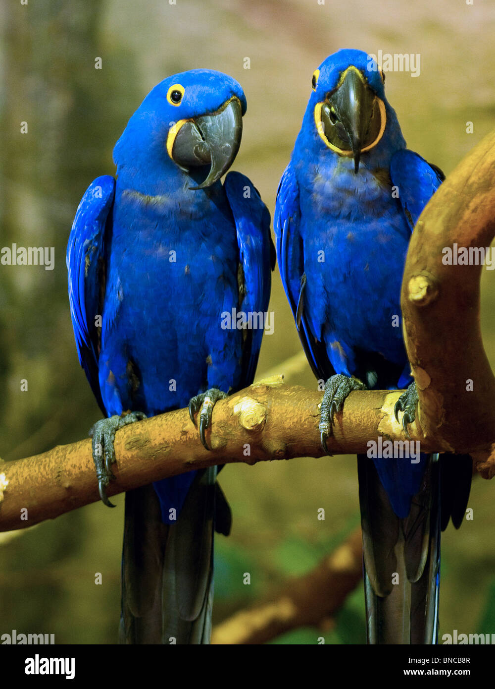 Blue Hyacinth Macaw Parrot Stock Photo