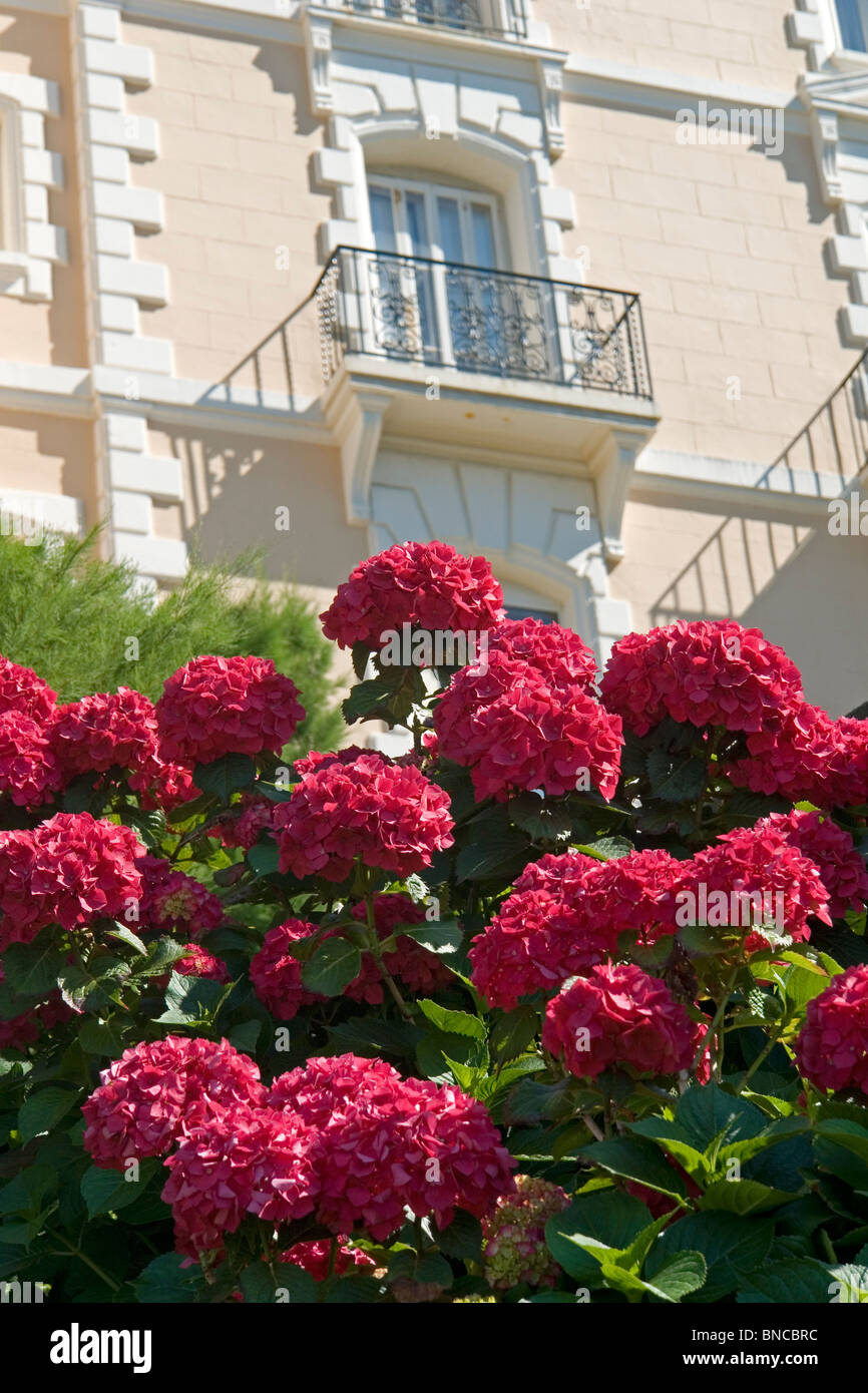 A clump of bright red hydrangeas, in Biarritz (Aquitaine - France). Massif d'hortensias rouge vif, à Biarritz - Stock Image