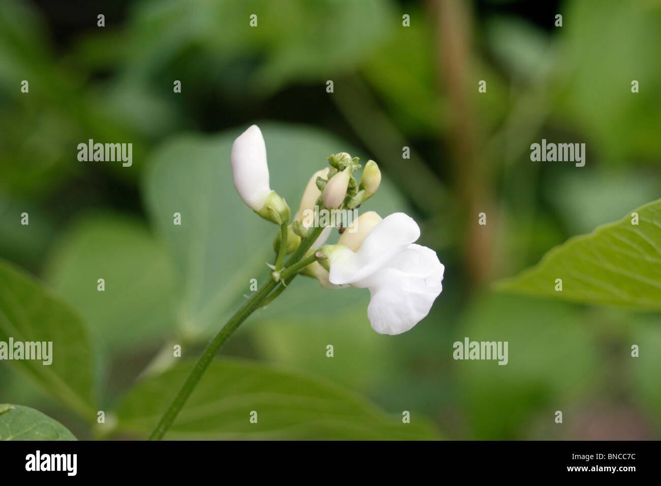 Runner bean plant, Phaseolus coccineus, unusual for Runner beans in that this one has white flowers. Emergo Stringless - Stock Image