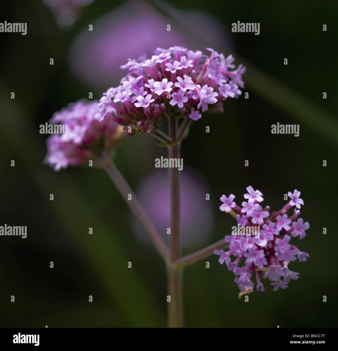 Verbena bonariensis - Stock Image