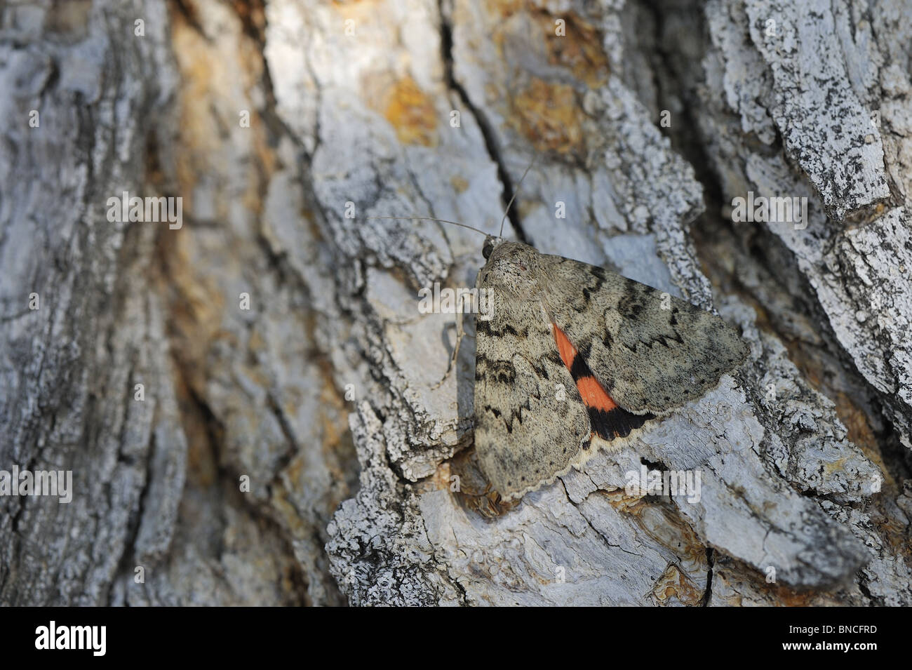 Noctuid moth (Catocala puerpera) on the bark of a tree - Provence France - Stock Image