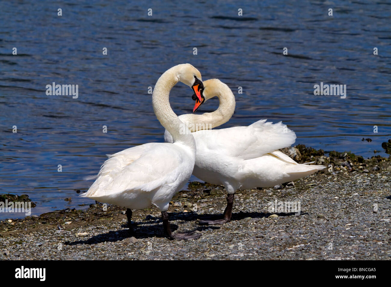 A pair of mute swans, Cygnus olor, courting in spring. Curving necks form a heart shape. Stock Photo