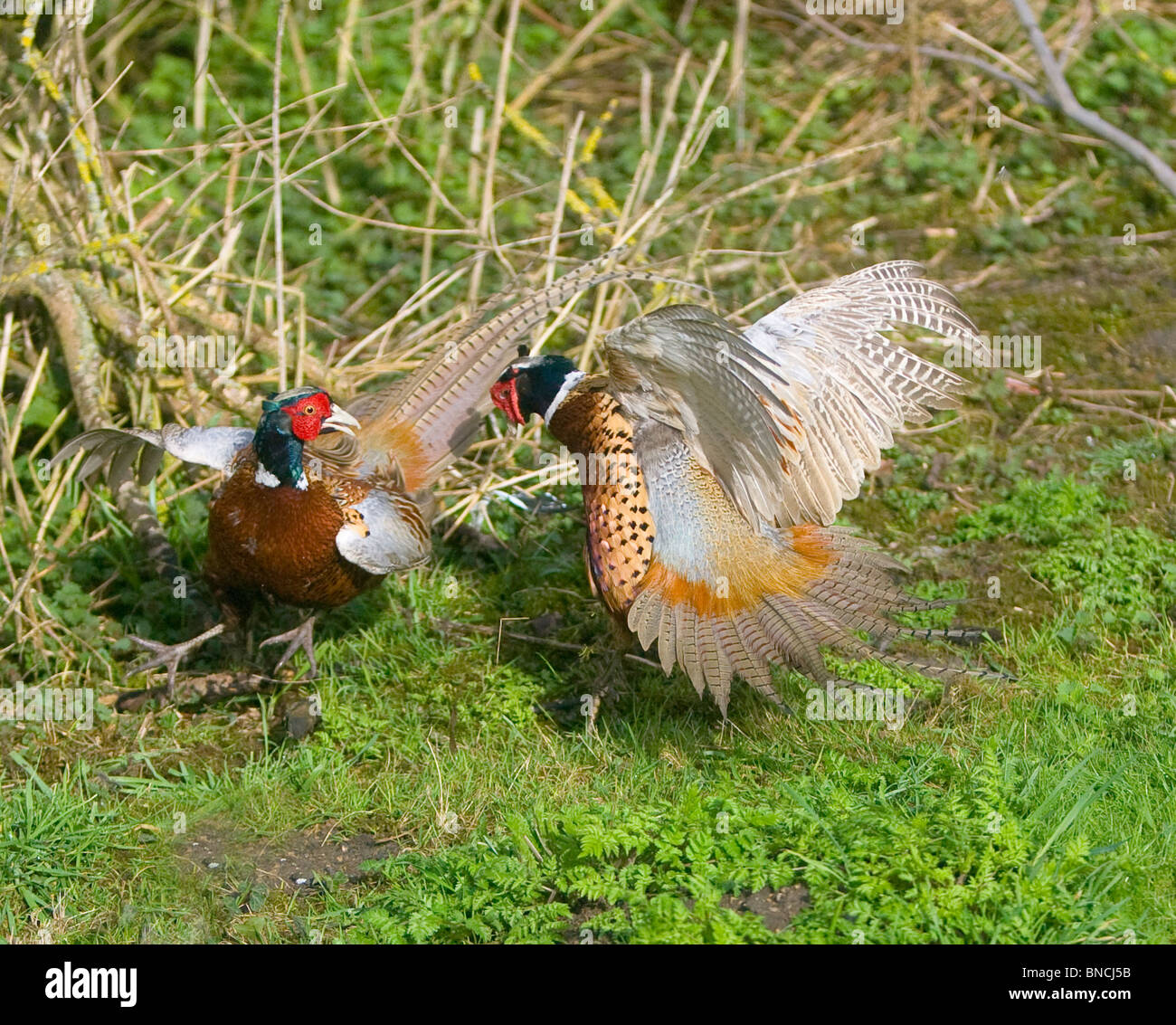 Pheasants Phasianus colchicus fighting over territory and the females it holds Stock Photo