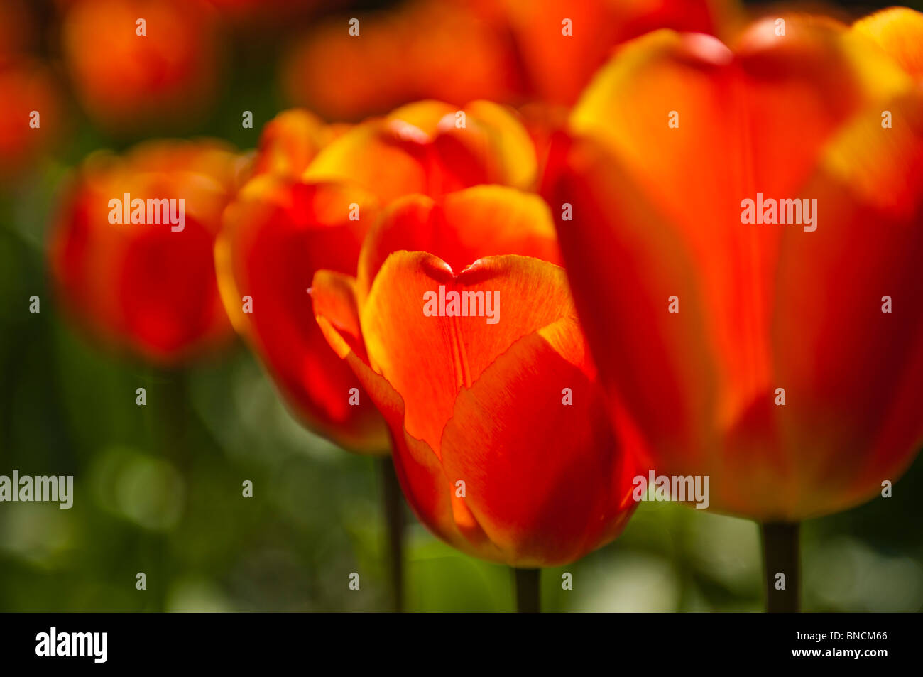 Closeup of red tulips - Stock Image