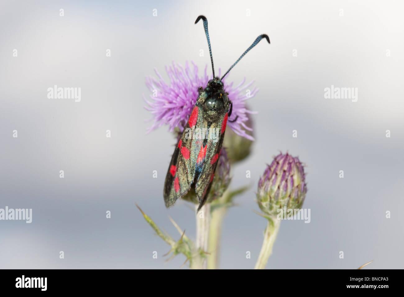 Adult cinnabar moth on flower. - Stock Image