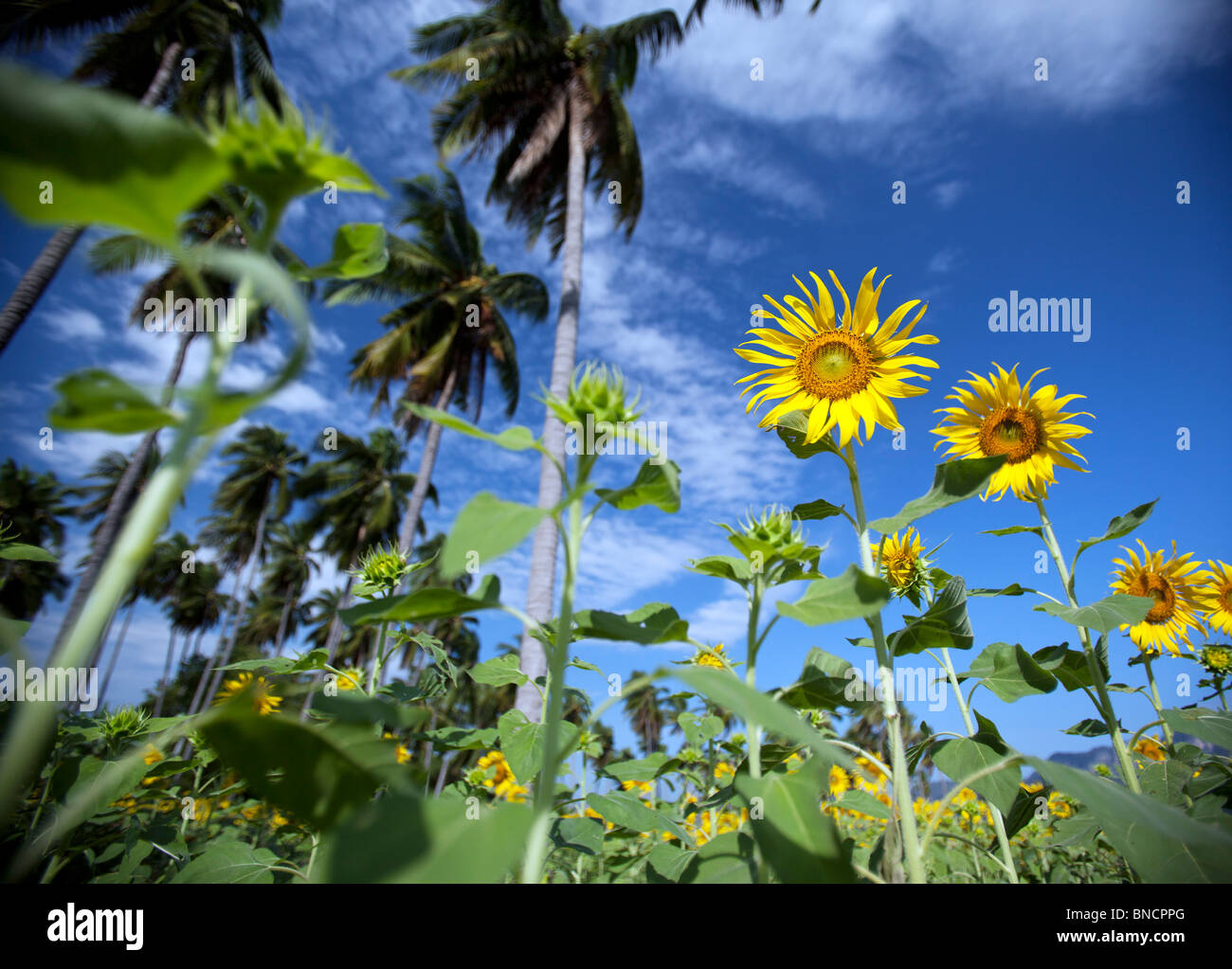 Sunflower with Blue sky, Lop Buri, Thailand. - Stock Image