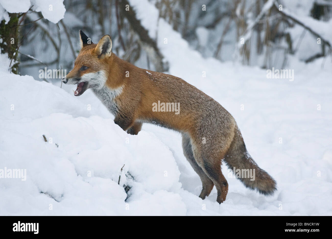 Snarling Red Fox Vulpes vulpes looking for food in snow during winter - Stock Image