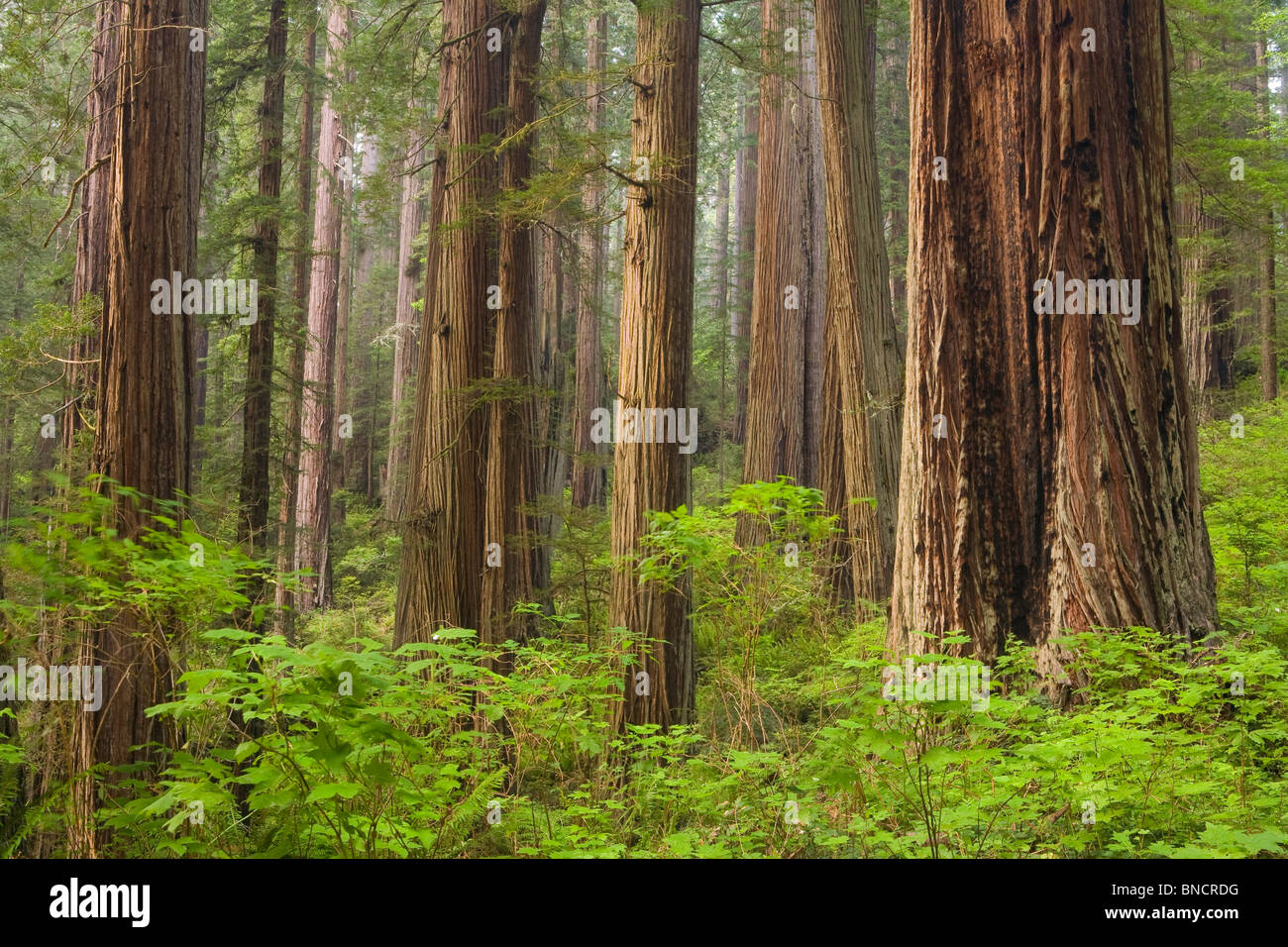 California, Redwood National Park, Redwoods, Redwood forest, (Sequoia sempervirens) - Stock Image