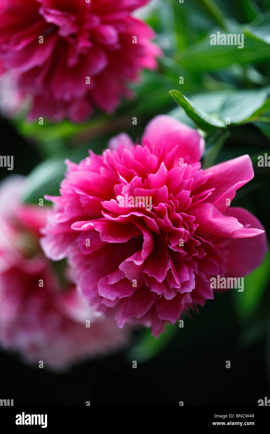 Large deep pink Peony flowers - Stock Image