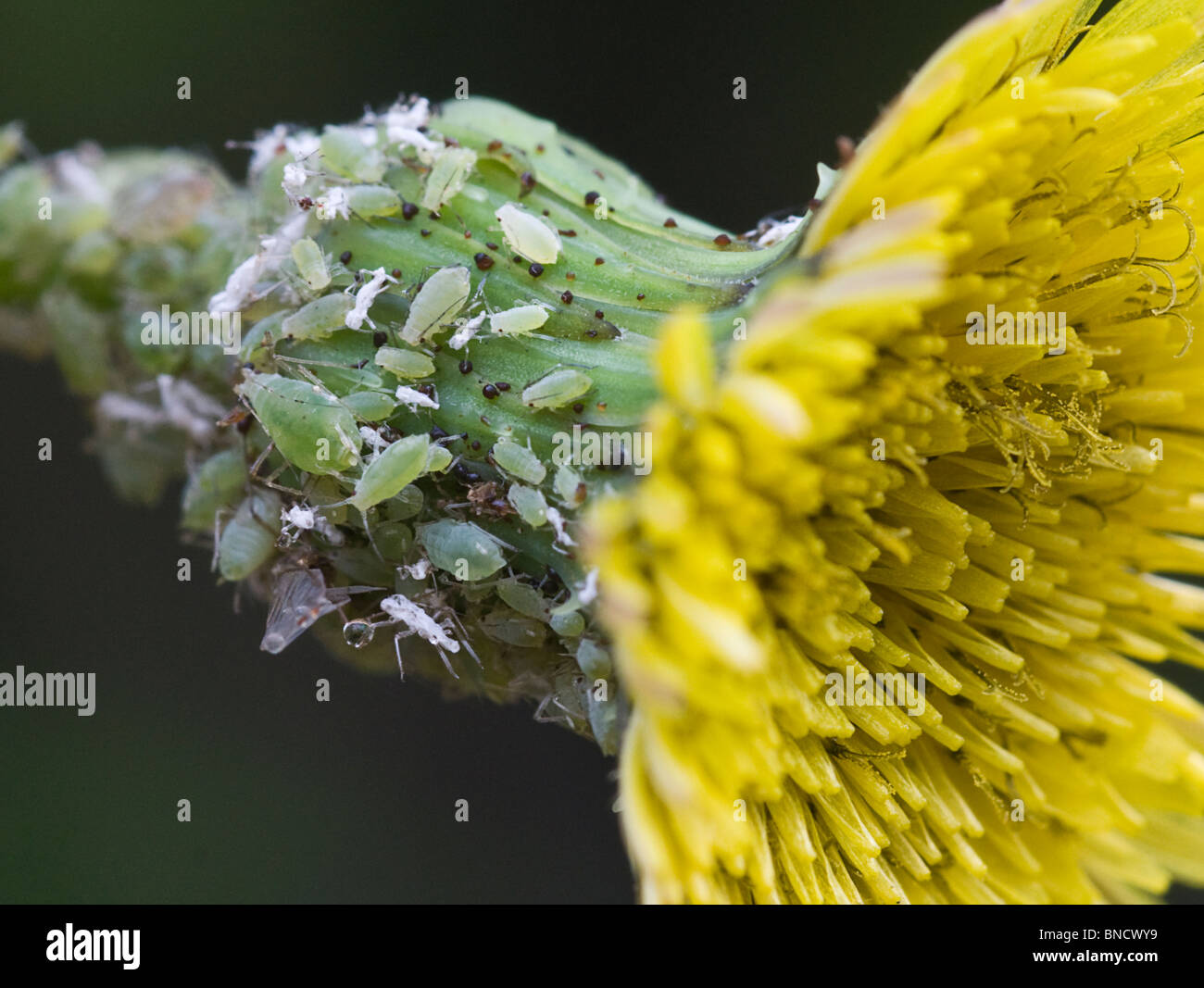 Aphids (Green fly) and White fly on a Prickly Sow-thistle. - Stock Image