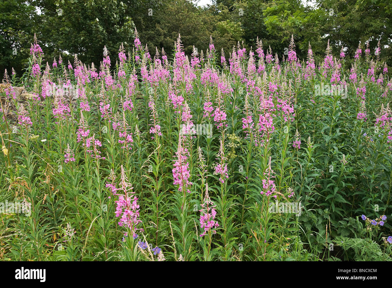 A bank of Rose-bay Willow Herb (Epilobium angustilalium) flowers growing on a grass verge in Melmerby, North Yorkshire - Stock Image